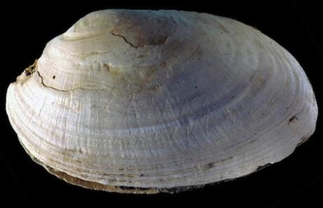 Coquillage gravure abstraite erectus java 500000ans