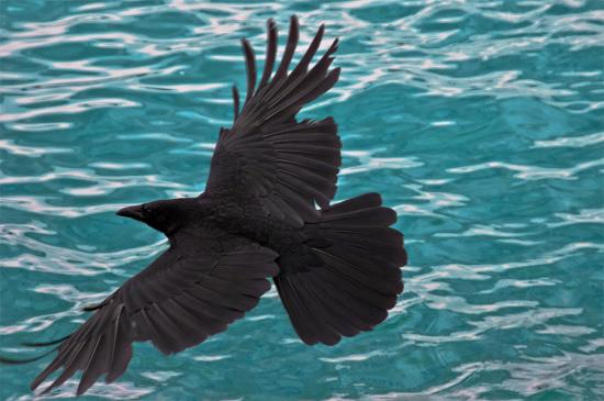 corbeau-ailes-deployees-laures73-flickr-02.jpg
