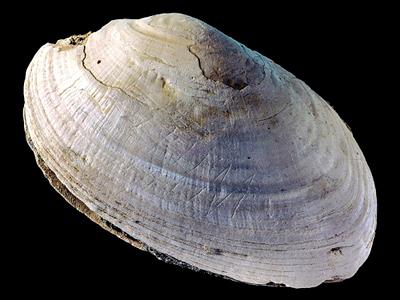 Gravure coquillage 500000 ans
