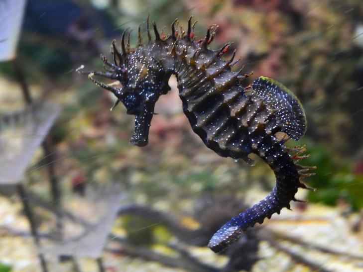 Hippocampe chevelu hippocampus guttulatus 24
