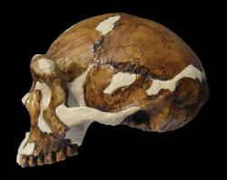 homo-erectus-02.jpg