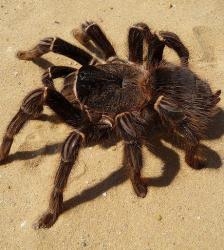 les-araignees-ressemblent-beaucoup-a-des-mygales-ici-en-photo-credits-george-chernilevsky-wikipedia-48852-w460.jpg