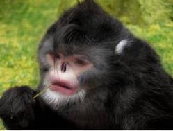 singe-birman-rhinopithecusstrickeri-face-jpg.jpg