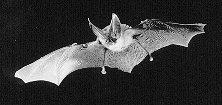 Bat44