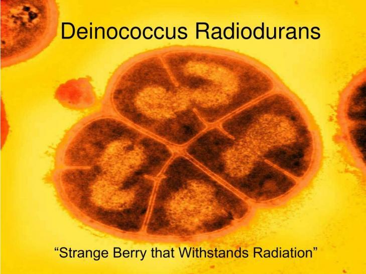 Deinococcus radiodurans l