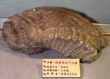 Fossilesstegodontaiwan