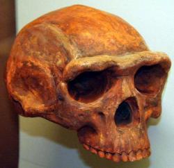 homo-erectus-skull.jpg