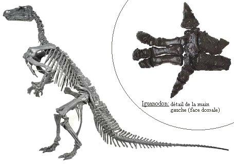 Iguanodon3