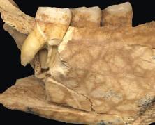 mandibule-serbie-homo-erectus-1.jpg