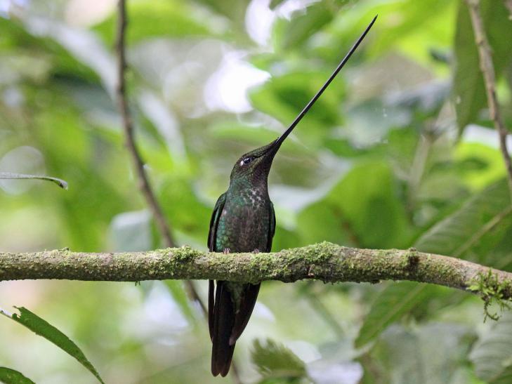 Oiseau ermiteensiferaensifera equateur-perou