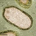 pandoravirus-mini.jpg