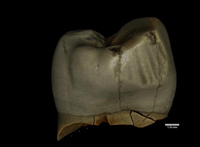 Pologne dentneandertalien2 1